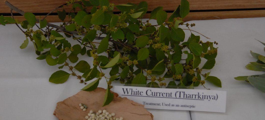 White currant bush medicine